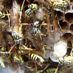 Defeating Wasp Army Living In Pillows Top Issue Among Schizophrenic Voters