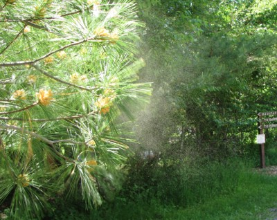 Pine tree pollen - lewd and disgusting