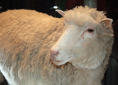 Dolly the sheep clone