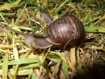 Snail Strategy Appeals to Mitt Romney