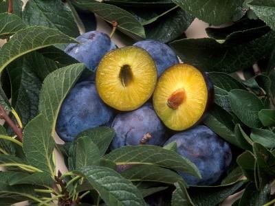 GMO plum pox resistant fruit