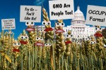 It's Alive! GMO Wheat Stage Million Grain March on Capitol