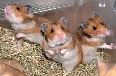 Cruelty-Free pet food, hamsters