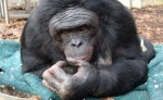 Kanzi, World's Smartest Ape, Still Not Making Headway on Whole Poo Eating Thing