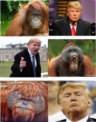Bill Maher, Donald Trump, Orangutan