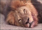 Lion Killer Dentist Claims He Feared for His Life, Shot in Self Defense