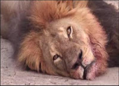 Lion killer dentist