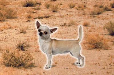 God Chihuahua