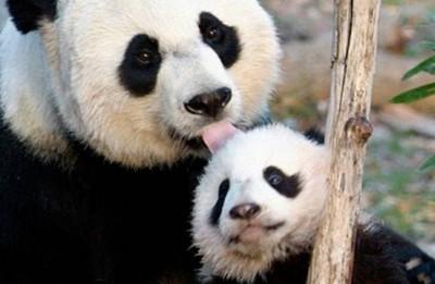 headlines today, panda