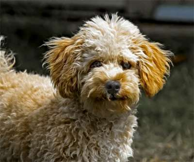 Marketing study: Doodle, a Poodle guard dog