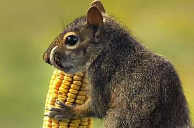 Saber Toothed Squirrel