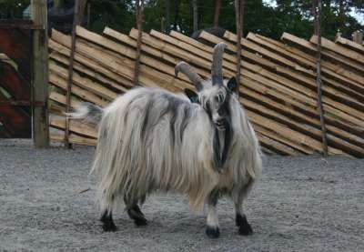affair, goat