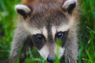 Strange Creatures animal raccoon