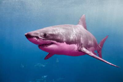 discrimination suit, Great Pink Shark