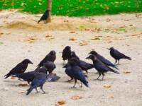 A Murder of Crows, Etc.