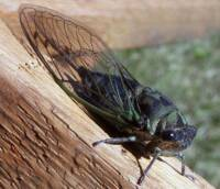 Yes, We Want No Cicadas