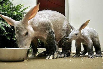 Theory shows aardvarks better leaders