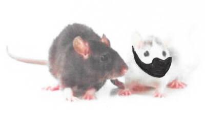 Cheesy Lab Mice